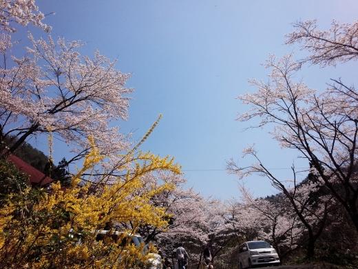 2017.04.14 桜 001