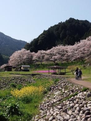 2017.04.14 桜 022