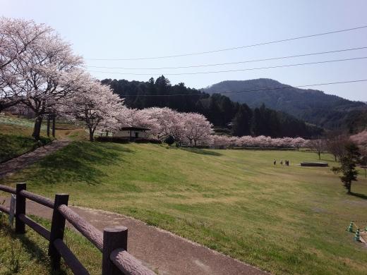 2017.04.14 桜 009