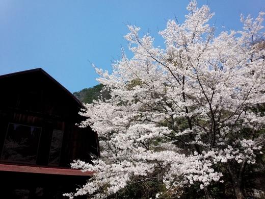 2017.04.14 桜 003