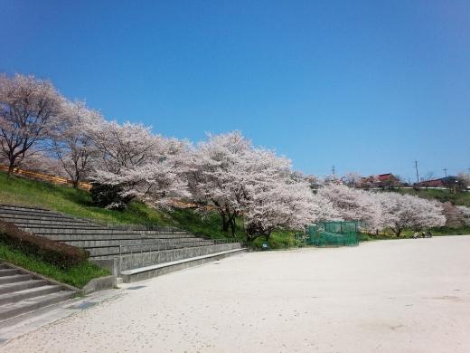 2017.04.14 桜 027