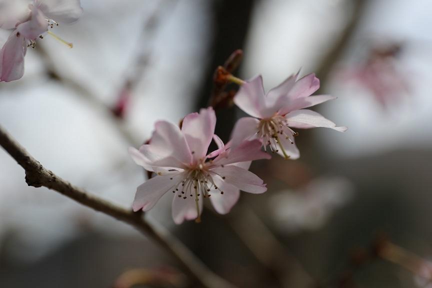 2017 4 2 花見山の10月桜 ブログ用.jpg