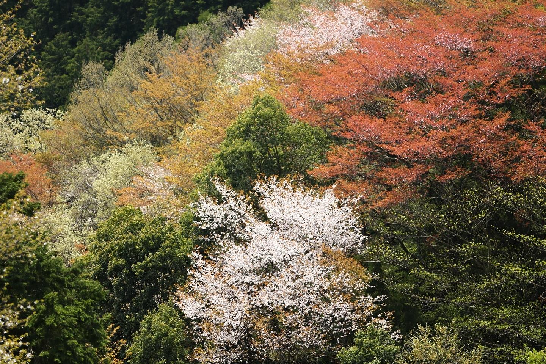 2017 4 20 山桜の競演 ブログ用.jpg