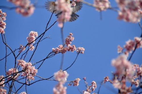 初御代桜0