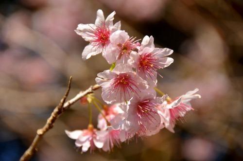 初御代桜1