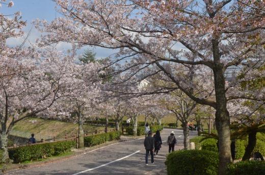 白水池の桜