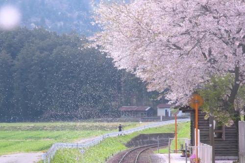 IMG_2698 桜吹雪