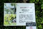 s12rosokunoki.jpg
