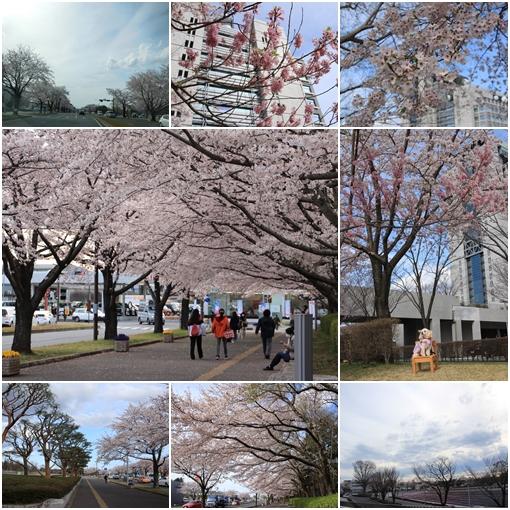 県庁桜 2017 4月12日