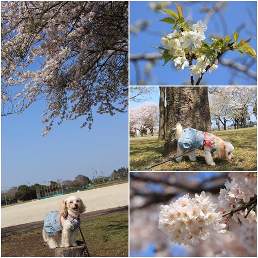4月14日 運動公園の桜