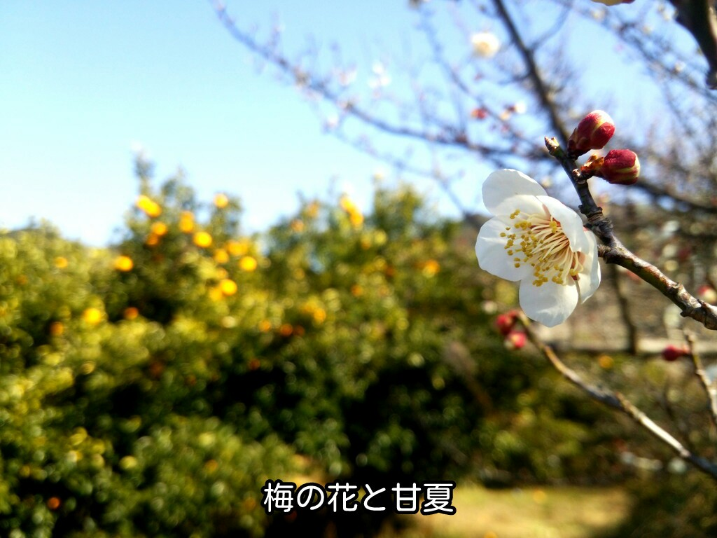 梅の花と甘夏