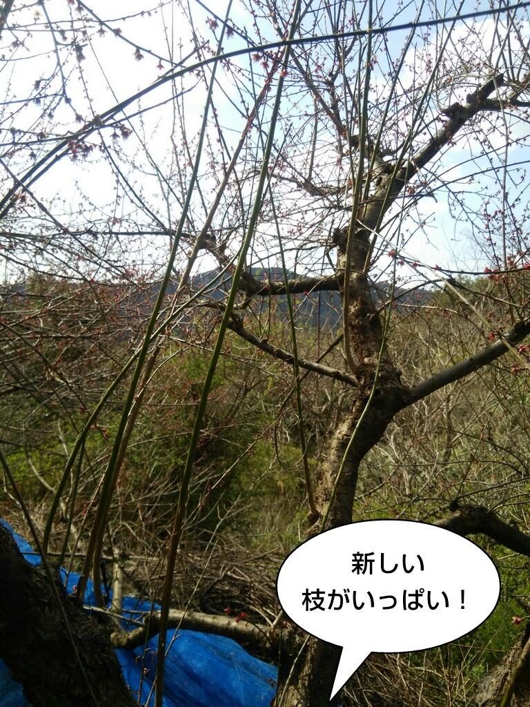 新しい枝がいっぱい!