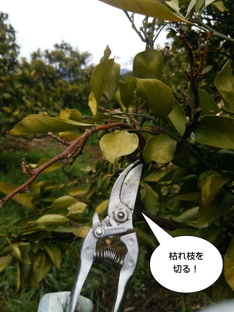 枯れ枝を切る!