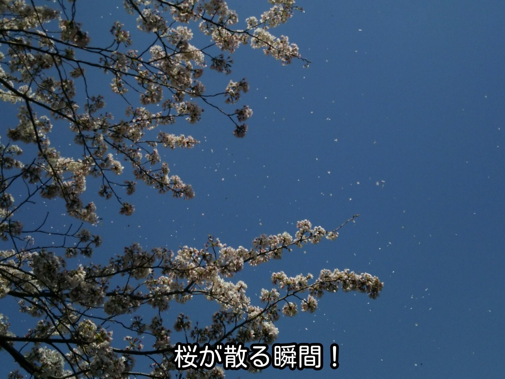 桜が散る瞬間!