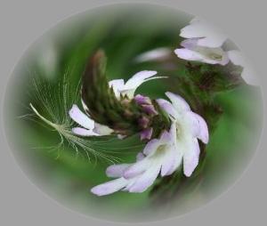 クマツヅラ 魔法 Wikipediaより 800px-Verbena_officinalis1pl-TX