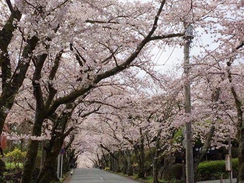 2017桜並木412