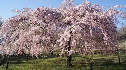 2017桜3
