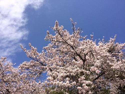 2017桜イトーピア