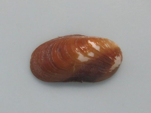 コガラスマクラ