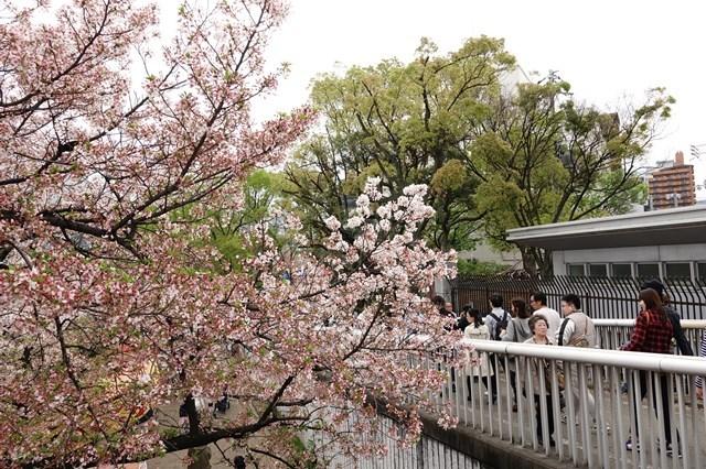 2 造幣局桜の通り抜け (2)
