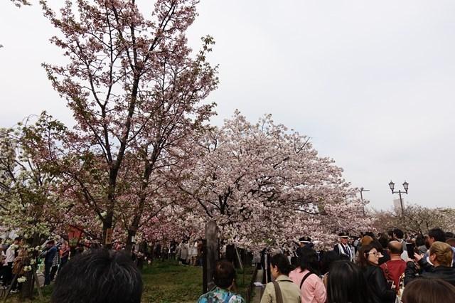 2 造幣局桜の通り抜け (5)
