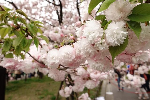 2 造幣局桜の通り抜け (7)