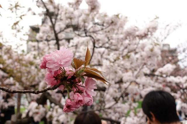 2 造幣局桜の通り抜け (10)