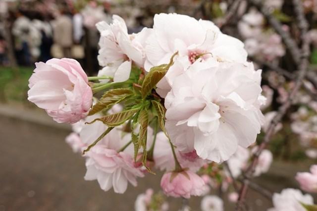 2 造幣局桜の通り抜け (11)