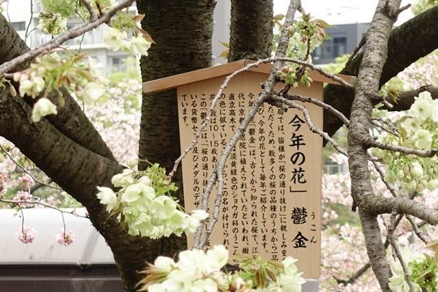 2 造幣局桜の通り抜け (12)