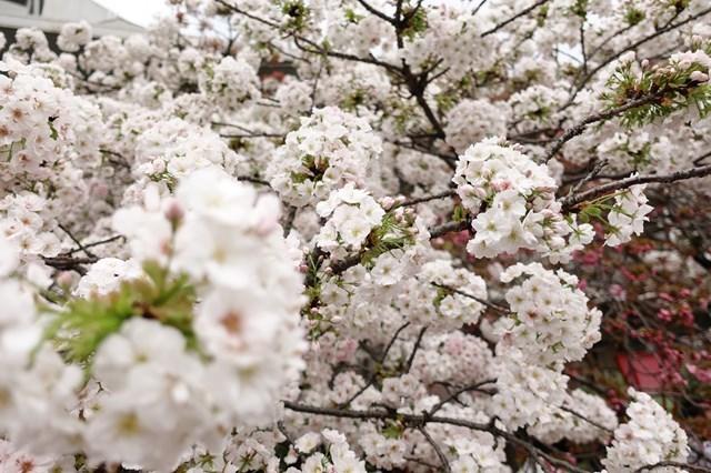 2 造幣局桜の通り抜け (13)