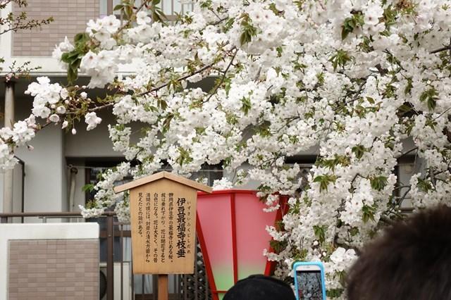 2 造幣局桜の通り抜け (14)