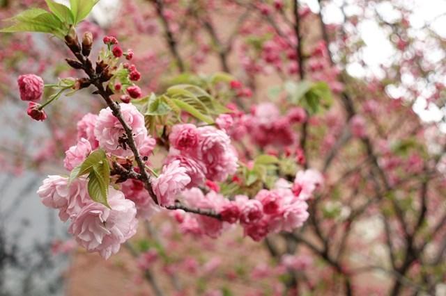 2 造幣局桜の通り抜け (16)