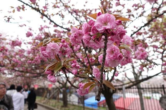 2 造幣局桜の通り抜け (19)