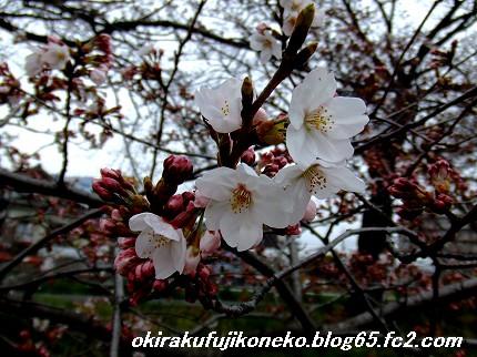 0331桜5