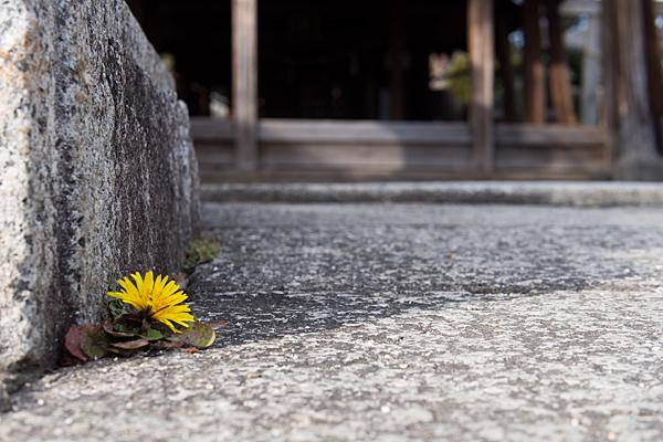 南押切神明社境内に咲くタンポポ