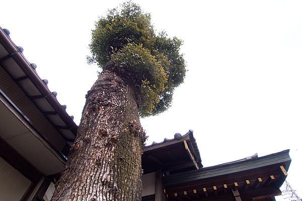 宗像神社クスノキ
