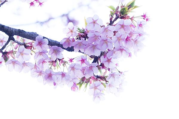 大寒桜の花ハイキー