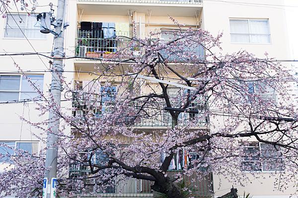 大寒桜とベランダの風景