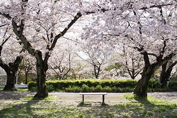 雨池桜とベンチ