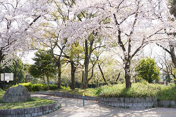 大森中央公園の桜