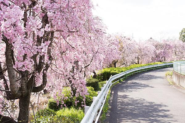 白沢川沿いの桜