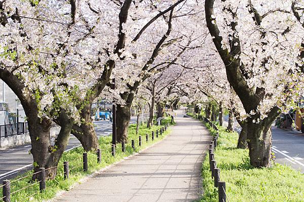すいどう道桜並木