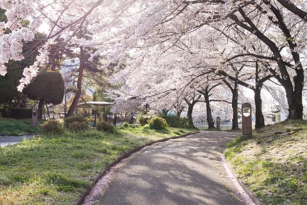 八田川沿いの桜