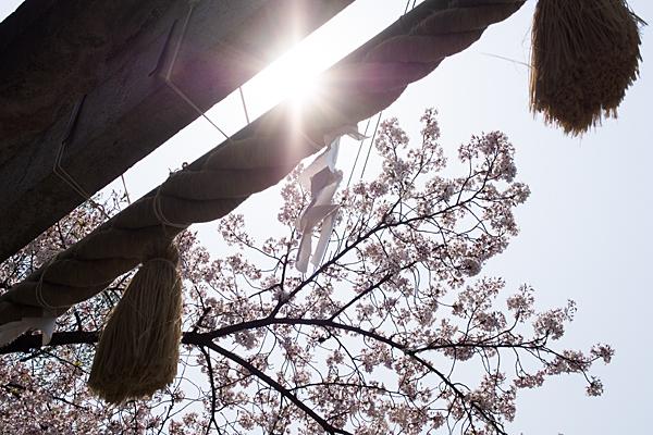 富部神社鳥居と桜と大洋