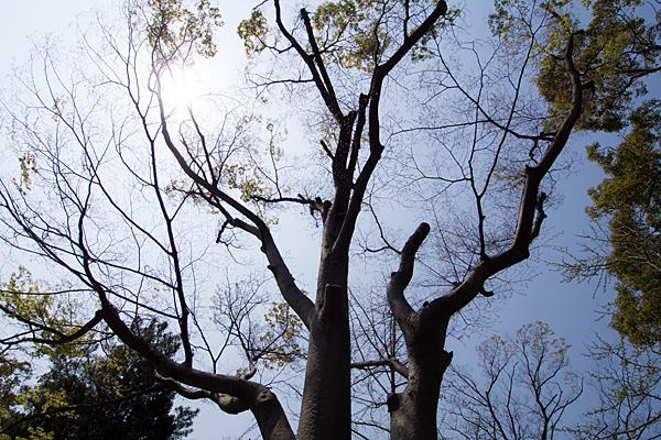 桜田八幡社境内の木と太陽