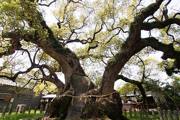大楠の枝振り