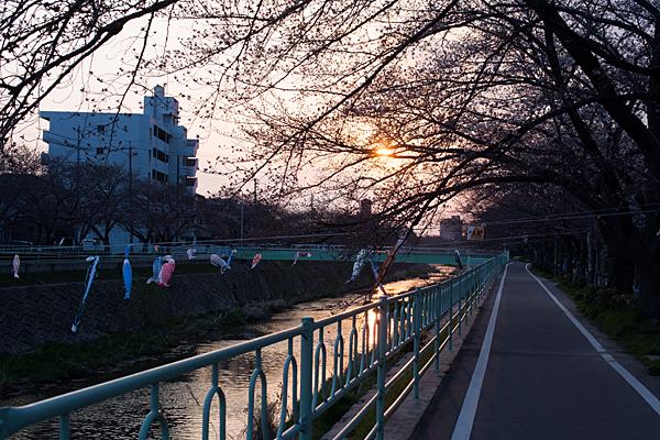 矢田川桜の咲き始めと吹き流し