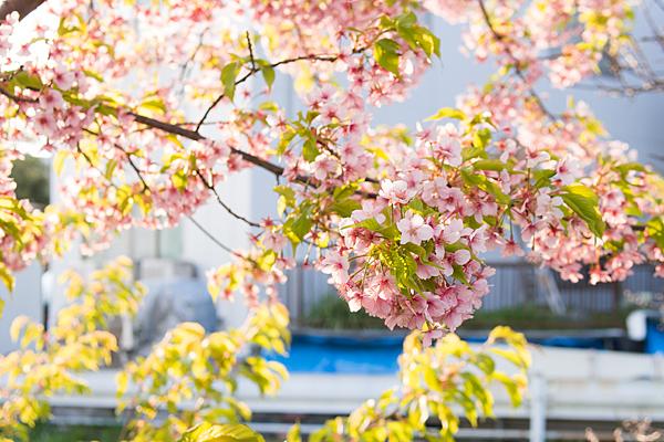 早咲きの桜の花