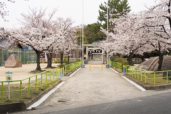 大乃伎神社参道と桜