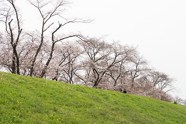 洗堰緑地土手の桜